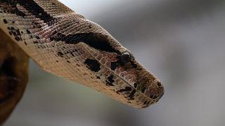 Woher kommen die Schlangen? Düsseldorfer finden Königspython in ihrem Hof