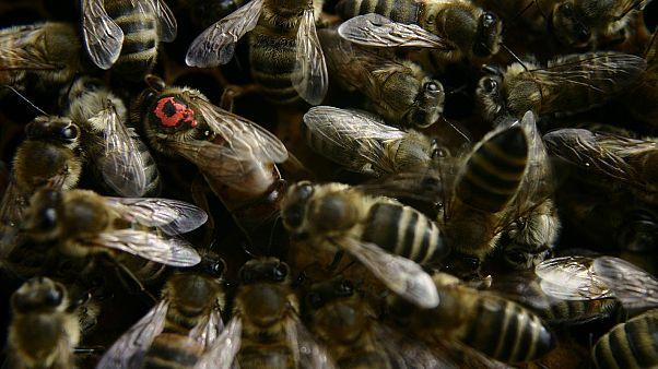 Flug verspätet: Bienenschwarm auf Cockpitscheibe