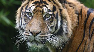 Was steckt hinter dem Massensterben der Tiger in Thailand?