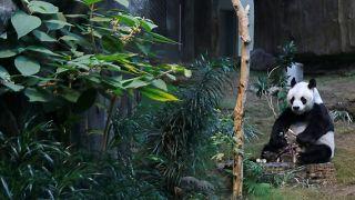 Çin, dev panda Chuang Chuang'ın ani ölümünü araştırmak için Tayland'a uzman ekip gönderiyor
