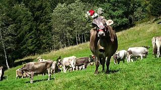 Algunos italianos engalanan a sus vacas para hacerles menos traumática la 'vuelta al cole'