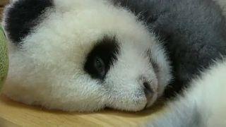 Неторопливая серая панда стала звездой зоопарка