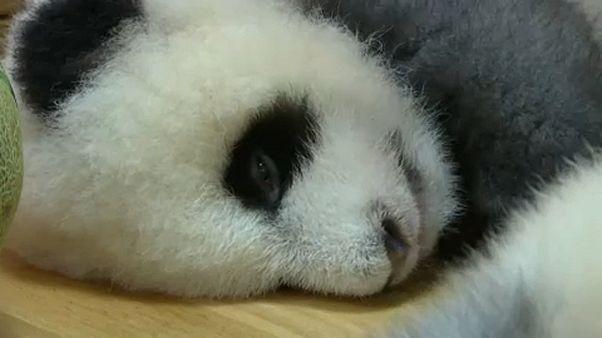 Szürke panda