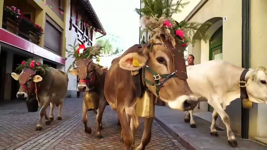 The cows are dressed to impress for their return