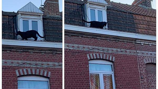 Black panther spotted prowling rooftops in northern France