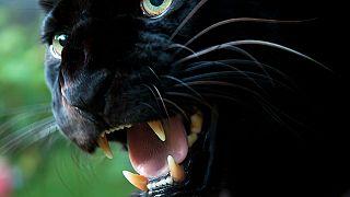 Fekete párduc mászkált egy franciaországi város háztetőin