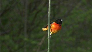 """29 Prozent Vogelschwund in Nordamerika: """"Tiere können nicht reagieren"""""""
