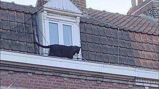 L'étonnante histoire de la panthère noire qui rôdait sur un toit, en France