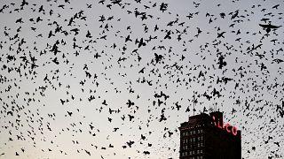 Kuzey Amerika'da kuş nüfusu dörtte bir oranında azaldı