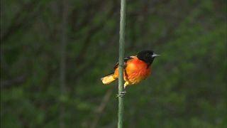 شاهد: نفوق واختفاء مليارات من الطيور في كندا و أميركا خلال الـ 50 سنة الماضية