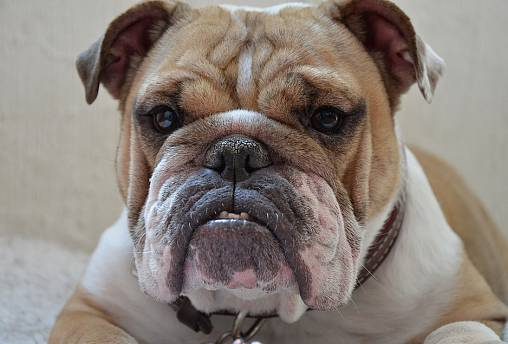 'Overweight Danes are more likely to have overweight dogs': study