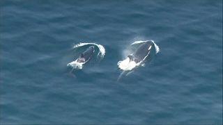 ویدئو؛ اُرکاها در نزدیکی ساحل آمریکا به شکار پرداختند