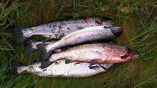 Норвежский лосось с вирусом ушел в дикую природу