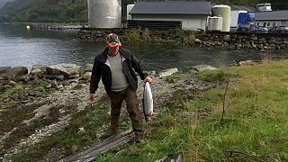Norvegia: fughe di salmoni d'allevamento, a rischio le specie selvatiche