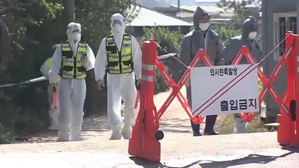 Dél-Koreában is pusztít az afrikai sertéspestis