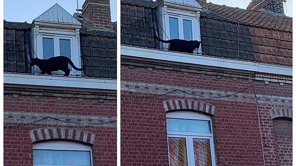 Black panther that prowled rooftops in French town kidnapped from zoo
