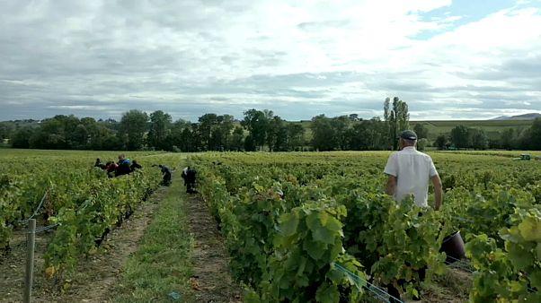 Fransa: Ünlü Beaujolais bağlarında Bulgar işçilerin köle gibi çalıştırıldığı iddiası