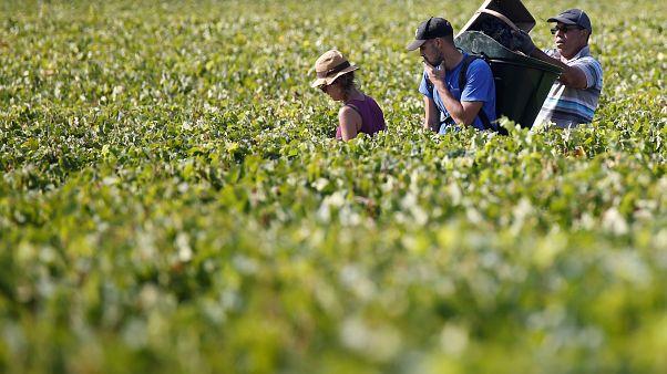 Tráfico humano e trabalho ilegal nas vindimas em França