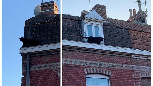 Francia, altro colpo di scena nel caso della pantera nera: ora è stata rubata dallo zoo