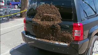 Bienen-Invasion am Autoheck