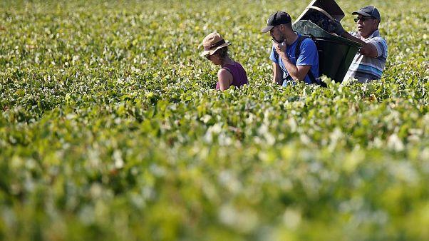 قاچاق انسان برای انگورچینی؛ تحقیقات وسیع پلیس در منطقه بوژوله فرانسه