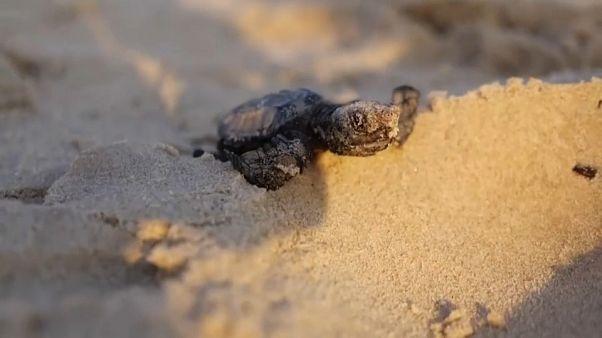 Tartaruga recém-nascida entra no mar pela primeira vez