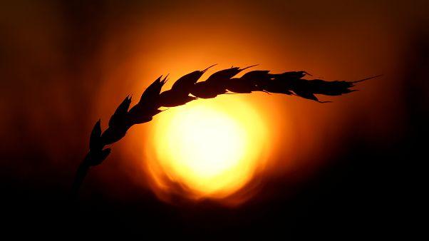 Küresel ısınma: Yüzyılın sonunda buğday tarlalarının yüzde 60'ı yok olacak ve gıda kıtlığı yaşanacak