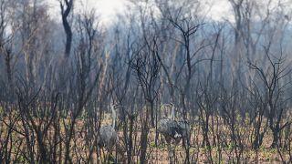 2,3 millió állat pusztulhatott el csak Bolíviában az amazonasi erdőtűzben