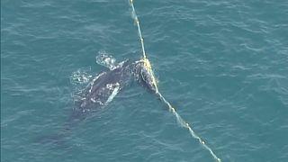 شاهد: إنقاذ حوت صغير علق في شباك لاعتراض أسماك القرش في كوينزلاند الأسترالية