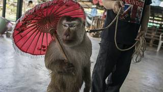 A macaque giving one of many daily performances. When the monkeys are not performing, they are kept in tiny individual cages