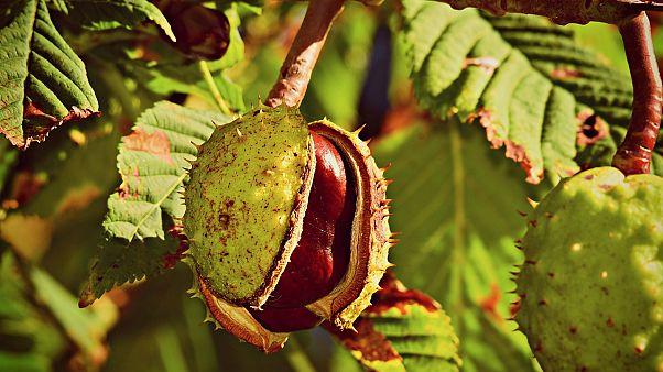 Beloved European horse chestnut tree 'close to extinction' warns report