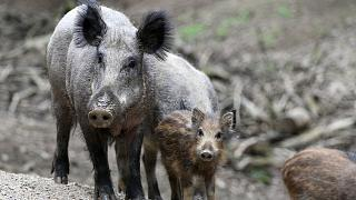 African swine fever detected in Hungarian wild boars