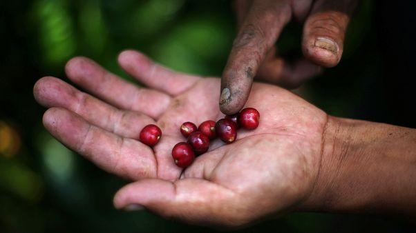 مزارع من المكسيك يعرض حبات القهوة في كفه - آب أغسطس 2019. ادغار كاريدو/رويترز