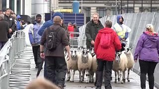 شاهد: الخرفان تجوب شوارع لندن في تقليد عمره ثمانية قرون