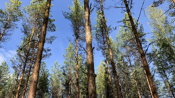 Trees in Finland against a blue sky