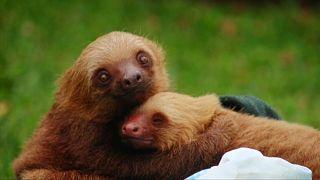 Коста-Рика: больница для ленивцев