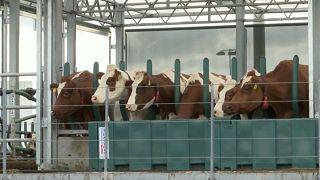 شاهد: مزرعة عائمة لتربية الأبقار بروتردام الهولندية