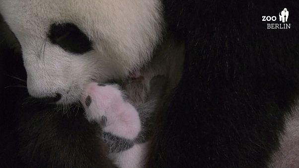 Pandakölykök a berlini állatkertben