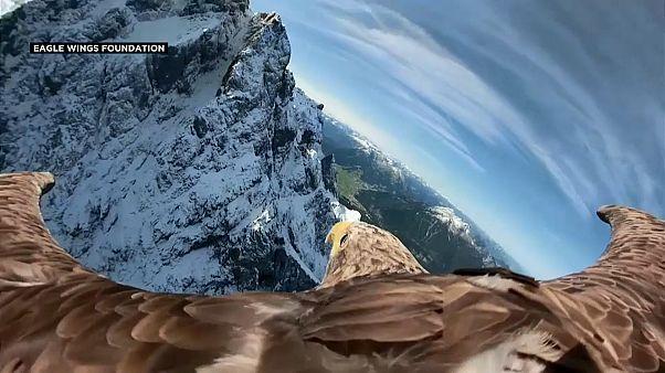 Victor, un aigle contre la fonte des glaciers