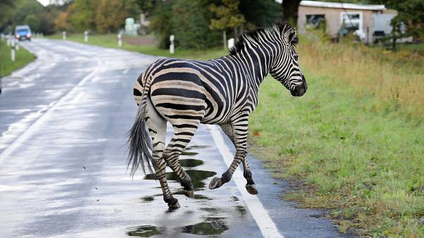 'They murdered our zebra': Trainers slam German authorities for killing escaped animal