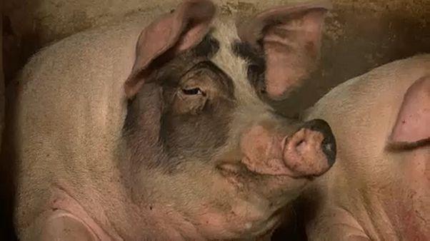Sertéspestis: láthatatlan háború a húsipar megmentéséért