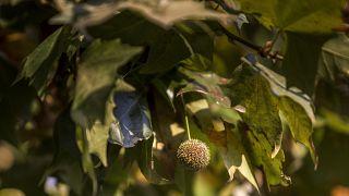 Platánfa levele és termése