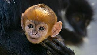 گونهای میمون نادر در باغ وحش استرالیا متولد شد