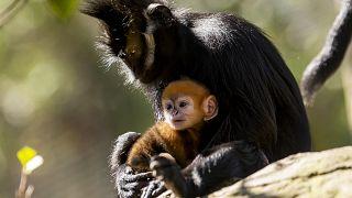 Avustralya'da bir hayvanat bahçesinde soyu tükenmekte olan Langur cinsi bir kızıl maymun doğdu