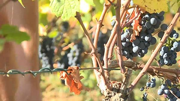 France's vineyards grapple with grape thieves at harvest time
