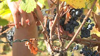 Csendőrök őrzik a francia szőlőt