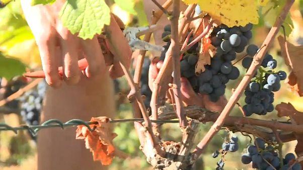 Los gendarmes vigilan los mejores viñedos de Francia