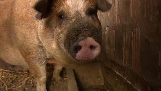 Schweinepest in Ungarn - auch Haus- und Nutztiere in Gefahr?