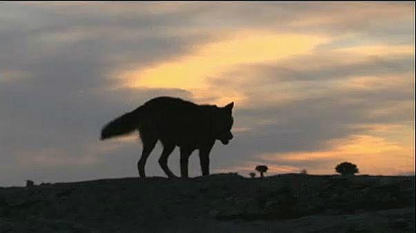 30 ألف يورو لمن يفكك لغز اختفاء أنثى ذئب في بلجيكا