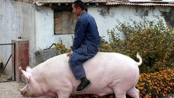 """Çin et talebini karşılamak için ayı büyüklüğünde """"süper domuz"""" yetiştiriyor"""